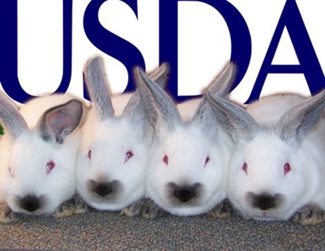 USDA Dollarhite Bunnies